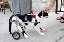 From the side, a black and white cat with a set of wheels harnessed to his back legs, receives a scratch on the head.
